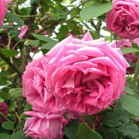 Rózsaszín történelmi rózsa - 'Bullata'