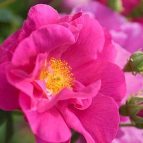 Sötétrózsaszín történelmi rózsa -'Gallicia Officinalis'