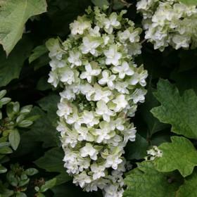 Tölgylevelű hortenzia - 'Snowflacke'