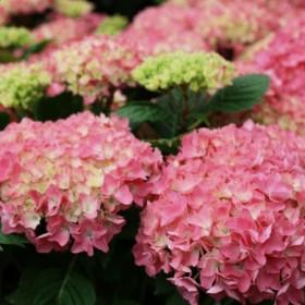Kerti hortenzia 'Silky Pink'