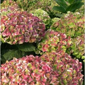 Kerti hortenzia 'Magical Coral