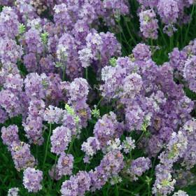 Levendula - liláskék - 'Cedar Blue'