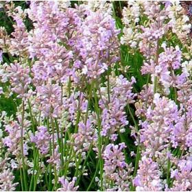 Levendula - 'Ellagance Pink'