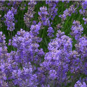Levendula liláskék 'Lavenite Petite''