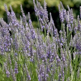 Levendula violettkék ,provencei  - 'Maillette'