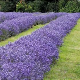 Levendula viola-kék, provencei 'Maillette'
