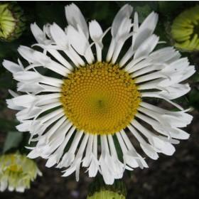 Margitvirág - fehér