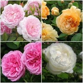 Mediterrán kert - romantikus rózsák 4 db