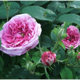 Rózsaszín történelmi rózsa - 'President de Séze'