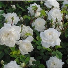 Fehér talajtakaró rózsa - 'Alba Meillandina'
