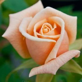 Barackrózsaszín tearózsa -'Apricot Silk'