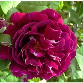 Bíborvörös-fehér történelmi rózsa - 'Baron Girod de l'Ain'