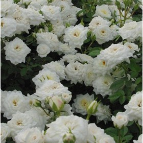 Fehér, törperózsa - 'Cocblanco'