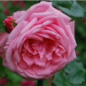 Rózsaszín futórózsa - 'Coral Down'