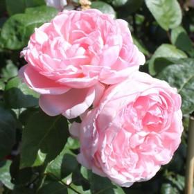 Világos rózsaszín, romantikus rózsa - 'Eglantyne'
