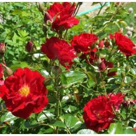 Bordó törpe rózsa - 'Fekete István'