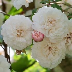 Világos rózsaszín történelmi futó rózsa - 'Félicité et Perpétue'
