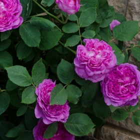 Lila történelmi rózsa - 'Himmelsauge'
