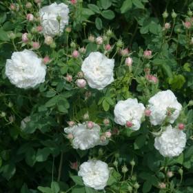 Krémfehér történelmi futó rózsa - 'Madame Plantier'