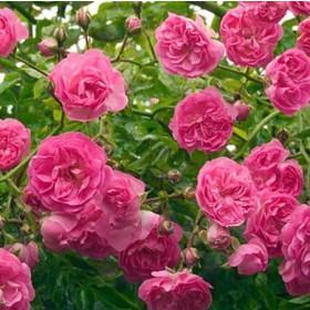 Rózsaszín történelmi futó-kúszó rózsa - 'Minnehaha'