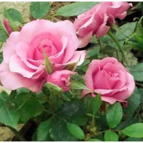 Rózsaszín törpe rózsa 'Blush Parade'