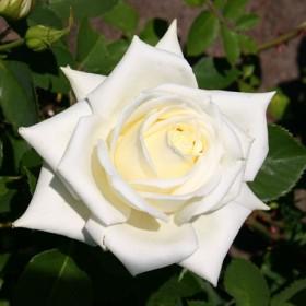 Fehér, törperózsa - 'Moonlight Lady'
