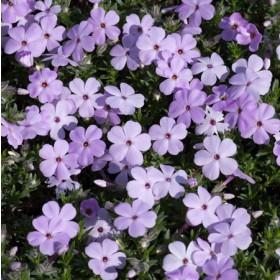 Törpe lángvirág - 'Lilac Cloud'