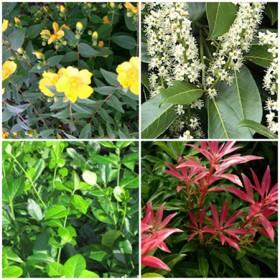 Vidéki kert - örökzöldek1. 4 db