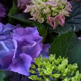 Kerti hortenzia 'Lovely Collection' Lila-Blue