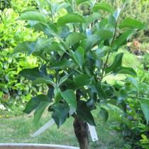 Balkon cseresznyefa, cserepes, 120-130 cm