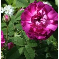 Lila történelmi rózsa -'Belle de Grécy'