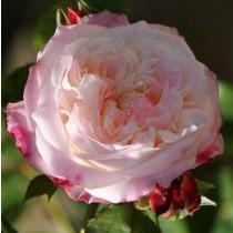 Fehér piros szegéllyel romantikus rózsa 'Eliane Gillet'