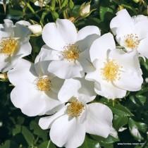 Fehér talajtakaró rózsa 'Escimo'