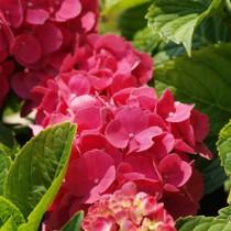 Kerti hortenzia 'Royal Red', nagy méret