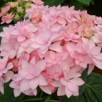 Duplaszirmú kerti hortenzia 'You and Me Romance' nagy méret