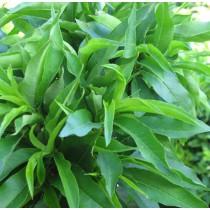 Balkon nektarinfa, cserepes 120-130 cm