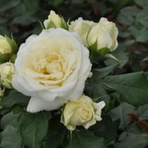 Fehér virágágyi romantikus rózsa 'Lenka'