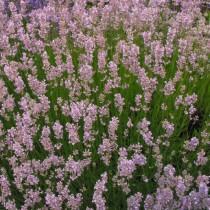 Levendula, rózsaszín - 'Hidcote Pink'