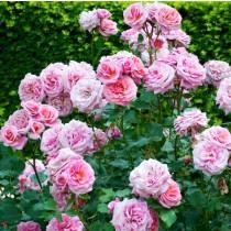 Rózsaszín ágyásrózsa -'Maria Theresia'