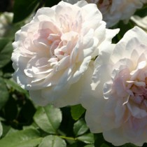 Fehér romantikus rózsa 'Martine Guillot'