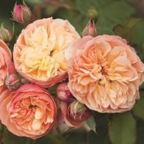 Narancssárga romantikus rózsa 'Natalija'