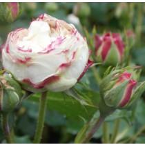 Hófehér, történelmi bokor rózsa - 'Boule de Neige'