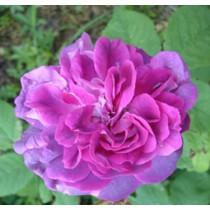 Mályva-lila angol történelmi bokor rózsa - 'William Lobb'