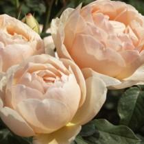 Sárga, romantikus angol rózsa - 'Ausjo'
