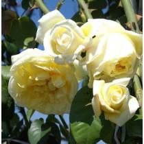 Sárga futórózsa - 'Rosa Casino'