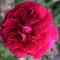 Sötét vörös, romantikus rózsa - 'The Dark Lady'