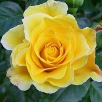 Sárga ágyásrózsa - 'Diana'