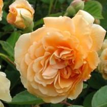 Barackrózsaszín romantikus, angol bokor rózsa - 'Ellen'