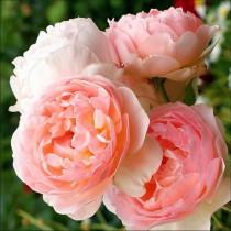 Sárgabarack színű, romantikus angol rózsa - 'Evelyn'