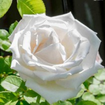 Fehér történelmi bokor rózsa - 'Frau Karl Druschki'
